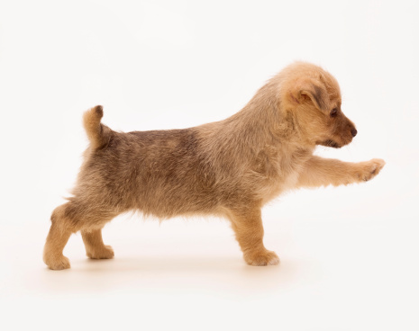 Animal Behavior「Pointing terrier puppy」:スマホ壁紙(16)