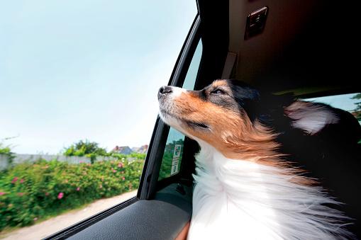 Happiness「Australian Shepard dog riding in car with window open」:スマホ壁紙(0)
