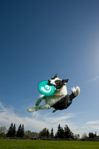 Catching「Australian shepherd dog catching flying disk mid-air, low angle view」:スマホ壁紙(9)