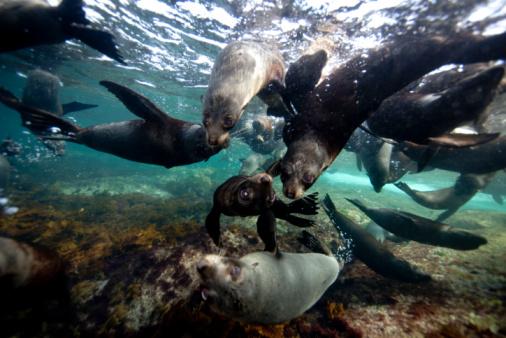 Sea Lion「Australian Sea Lions, Hopkins Island」:スマホ壁紙(16)