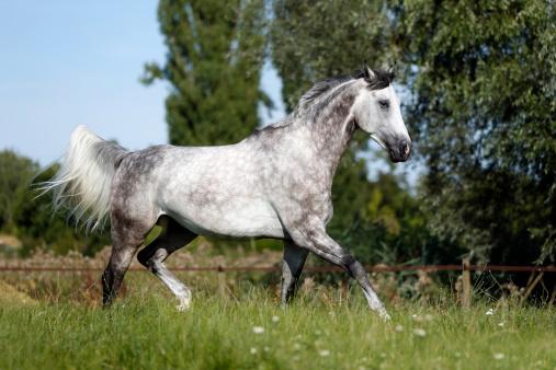 Horse「Germany, Constance, Wuerttemberger Gray trot」:スマホ壁紙(1)