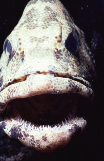 Animal Head「Greasy grouper (Epinephelus tauvina), close-up」:スマホ壁紙(9)