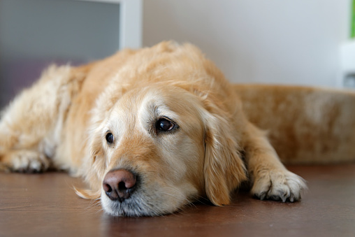 Sideways Glance「Tired Golden Retriever lying on wooden floor」:スマホ壁紙(9)