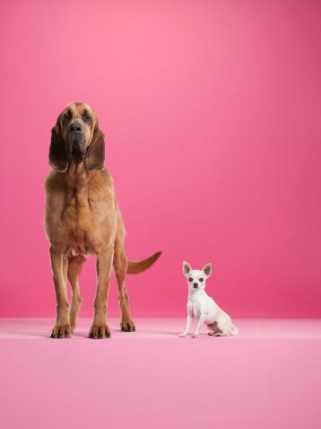 Sitting「Bloodhound and Chihauhau」:スマホ壁紙(19)