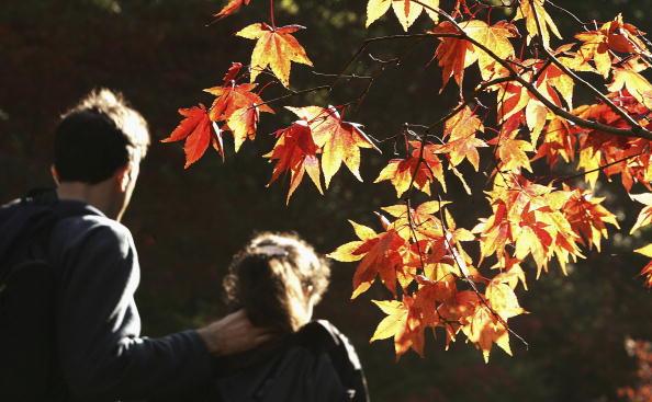 かえでの葉「Autumn Colours At Westonbirt Aboretum」:写真・画像(11)[壁紙.com]