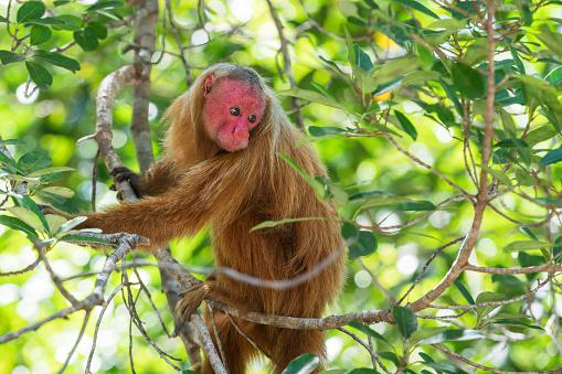 Amazon Rainforest「Soon Uakari Monkey」:スマホ壁紙(14)