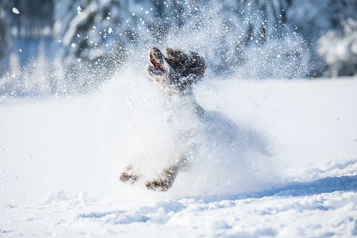 Playing「English Springer Spaniel running on snow-covered meadow」:スマホ壁紙(12)