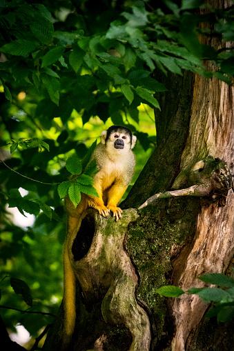Animal Body「Squirrel monkey portrait」:スマホ壁紙(12)
