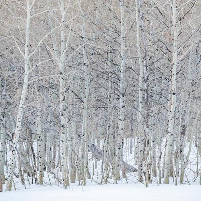Abundance「USA, Idaho, Sun Valley, Aspen forest in winter in Sawtooth National Forest」:スマホ壁紙(9)