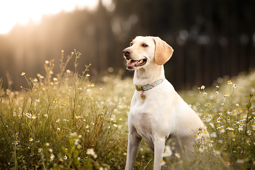 Mixed-Breed Dog「Mutt dog smiling in the fields」:スマホ壁紙(9)