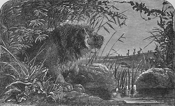 Big Cat「Waiting For The Antelopes Circa 1900」:写真・画像(16)[壁紙.com]
