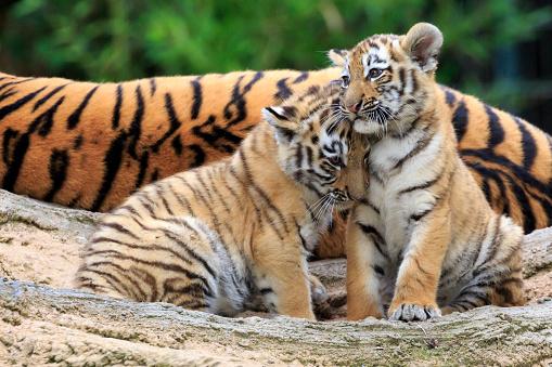 Siberian Tiger「Sibirien Tiger」:スマホ壁紙(9)