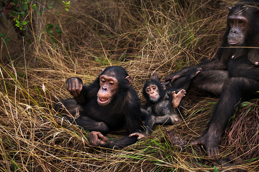 Animal Family「Eastern chimpanzee female 'Gremlin' aged 41 years grooming her daughter 'Golden' aged 14 years while their families play」:スマホ壁紙(10)