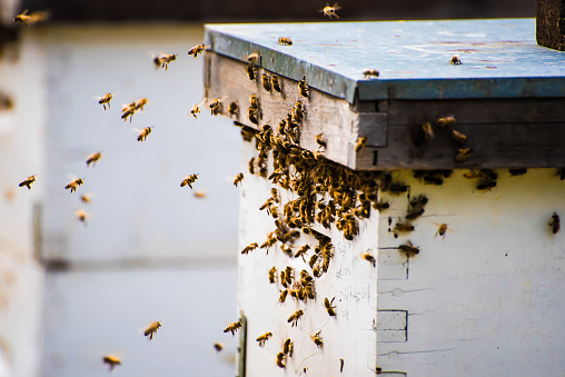 British Columbia「Bees returning to a beehive, Vancouver, British Columbia, Canada」:スマホ壁紙(11)