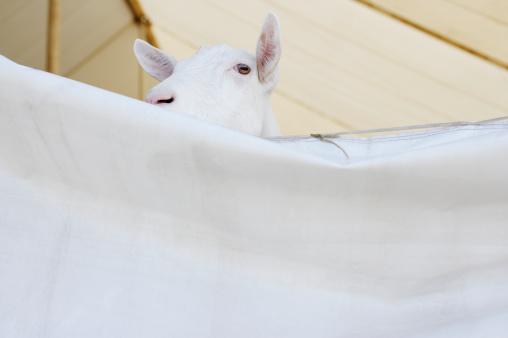 Entertainment Tent「Goat peeking over sheet in barn」:スマホ壁紙(13)