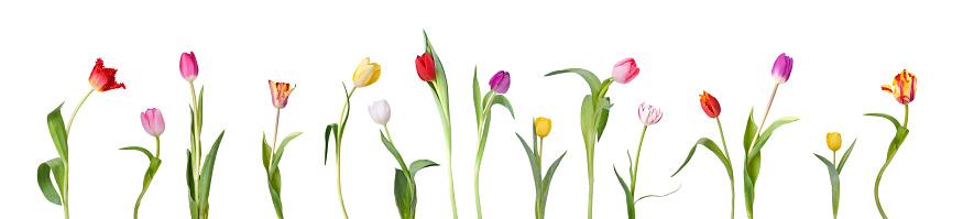 Tulip「Dancing Tulips」:スマホ壁紙(2)