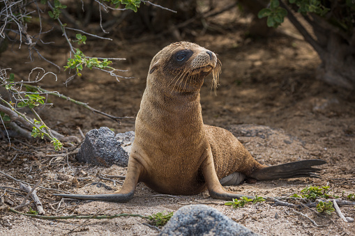 Sea Lion「A young Galapagos sea lion pup (Zalophus wollebacki) is lying on a sandy beach framed by rocks and bushes, right in the centre of the frame with its head turned and has a brown coat and black flippers」:スマホ壁紙(12)