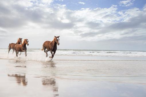 Horse「Brown horses running on a beach」:スマホ壁紙(0)