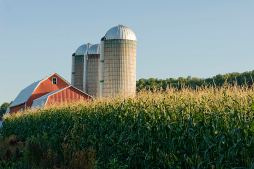 Agricultural Building「Red Barn in Corn Field 3」:スマホ壁紙(1)