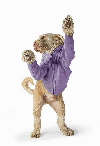 Attitude「Standing Spoodle Dog Wearing Hoodie On White Background」:スマホ壁紙(18)