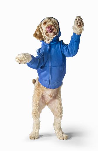 Sweatshirt「Standing Spoodle Dog Wearing Hoodie On White Background」:スマホ壁紙(7)