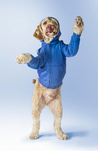 Sweatshirt「Standing Spoodle Dog Wearing Hoodie」:スマホ壁紙(6)