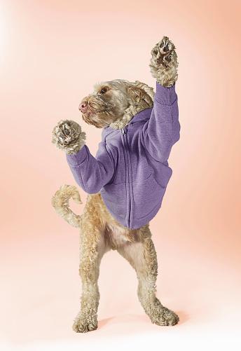 Sweatshirt「Standing Spoodle Dog Wearing Hoodie」:スマホ壁紙(8)