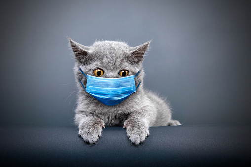 Purebred Cat「Protective face masked cat」:スマホ壁紙(2)