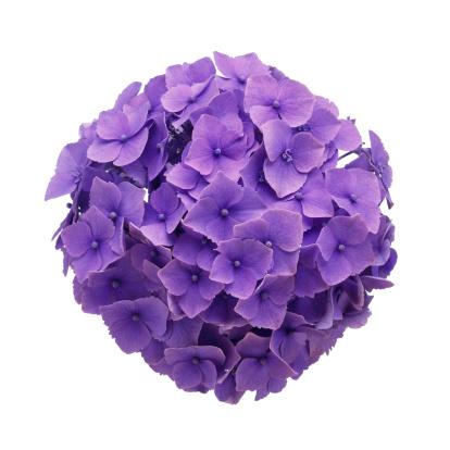 Hydrangea「Hydrangea Ball Close-up」:スマホ壁紙(16)