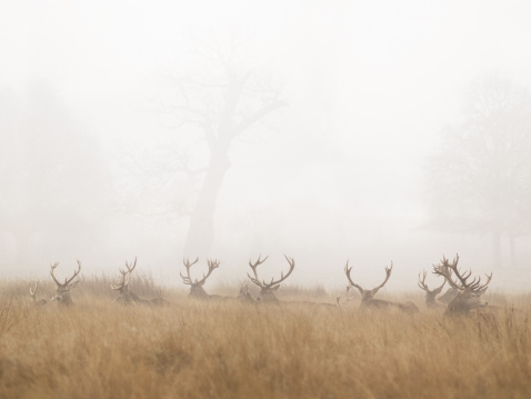 Weekend Activities「Group of Stag Deer Resting in Foggy Park」:スマホ壁紙(10)