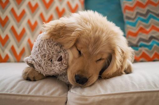 Baby animal「Golden retriever puppy dog lying on sofa with teddy bear」:スマホ壁紙(0)