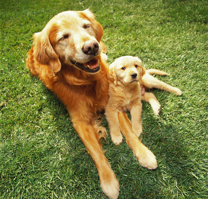 Animal Family「Golden retriever mother with puppy」:スマホ壁紙(12)