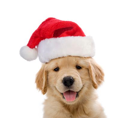 Baby animal「Golden Retriever Santa Puppy smiling」:スマホ壁紙(9)