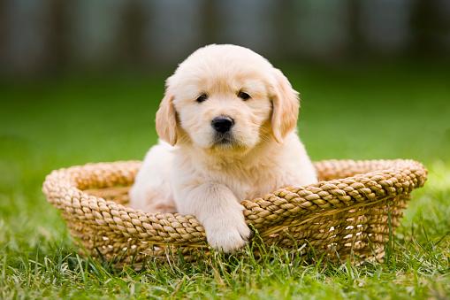 Baby animal「Golden Retriever Puppy in Pet Bed」:スマホ壁紙(3)