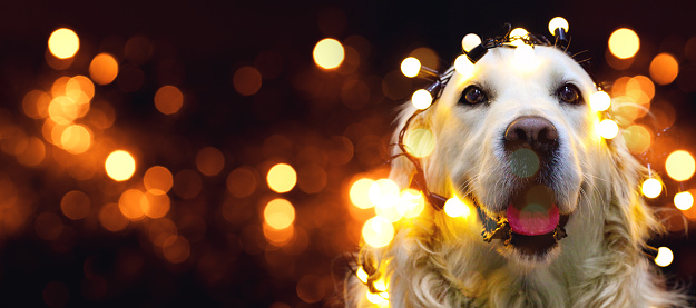 Pets「Golden retriever dog with red hat」:スマホ壁紙(2)