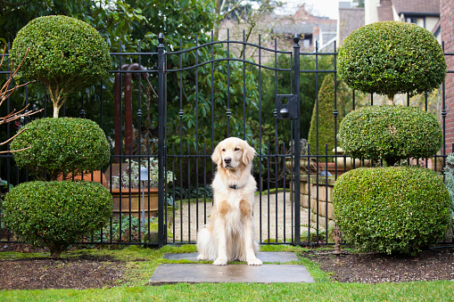 Guard Dog「Golden retriever sitting in front of gate」:スマホ壁紙(7)