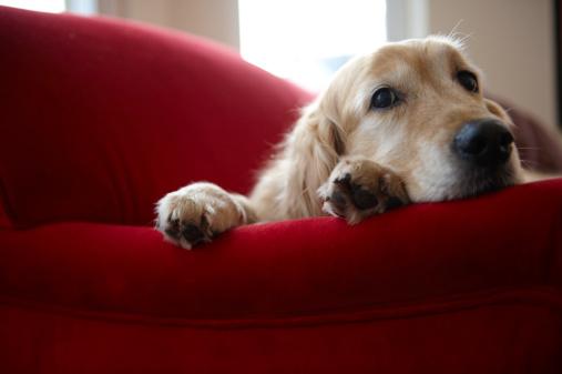 Three Quarter Length「Golden retriever dog lying on sofa, close-up」:スマホ壁紙(8)