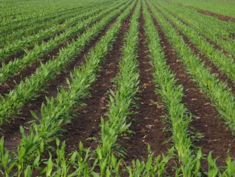 Planting「Corn Rows Spring Agriculture」:スマホ壁紙(7)