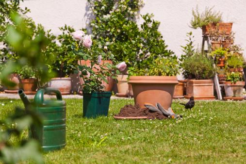 Gardening「Germany, Stuttgart, Flower pots and English rose on lawn in garden」:スマホ壁紙(1)