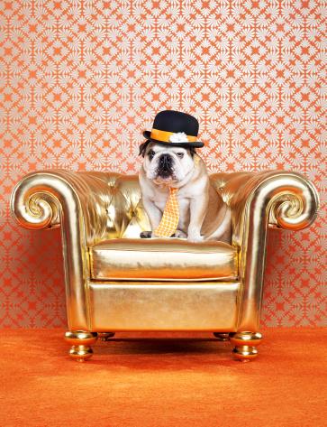Well-dressed「English Bulldog (Canis lupus familiaris) on chair」:スマホ壁紙(9)