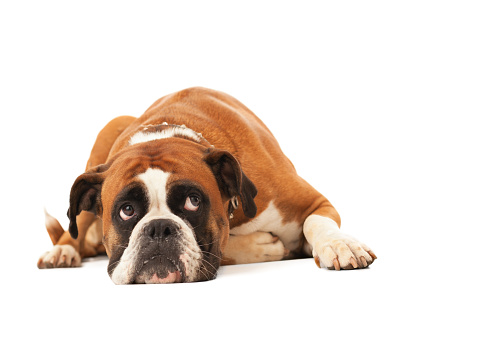 Paw「English bulldog lying down and looking up」:スマホ壁紙(5)