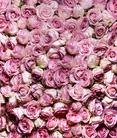 Large Group Of Objects「Pink Rose in full frame」:スマホ壁紙(3)