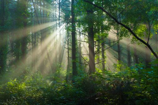 Boreal Forest「Morning Sunlight Filtering Through Foggy Forest in Summer」:スマホ壁紙(18)