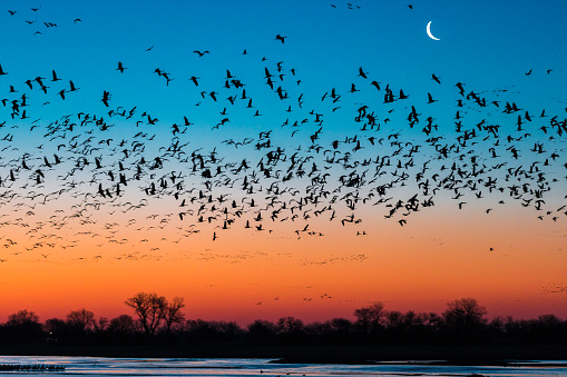 Flock Of Birds「Flock of sandhill crane (Antigone canadensis) birds at sunset, Platte River, Kearney, Nebraska, USA」:スマホ壁紙(18)