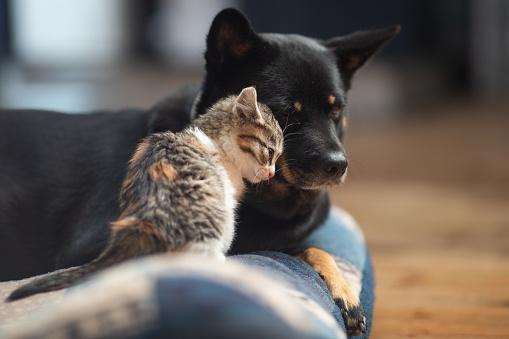Mixed-Breed Dog「Baby kitten loving on a dog」:スマホ壁紙(1)