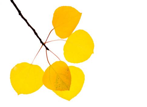 Aspen Tree「Aspen leaves」:スマホ壁紙(18)