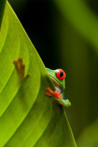 Central America「Red-Eyed Tree Frog, Costa Rica」:スマホ壁紙(14)