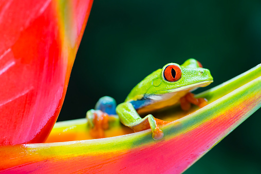 Central America「Red-Eyed Tree Frog climbing on heliconia flower, Costa Rica animal」:スマホ壁紙(1)