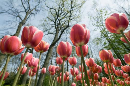 Keukenhof Gardens「Flower bed of red tulips under trees in park」:スマホ壁紙(18)