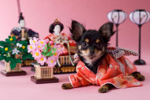 Kimono「Chihuahua Puppy and Hinamatsuri Doll」:スマホ壁紙(7)